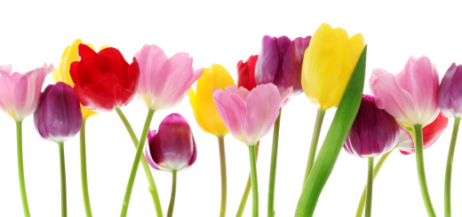http://www.dreamstime.com/stock-image-spring-tulip-flowers-row-image18057761